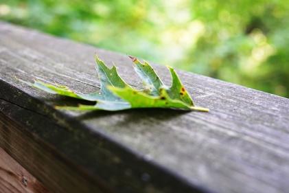 Green oak leaf on old wooden railing